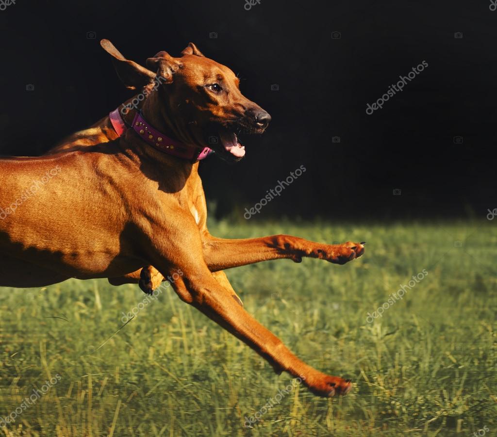Rhodesian Ridgeback dog running in summer