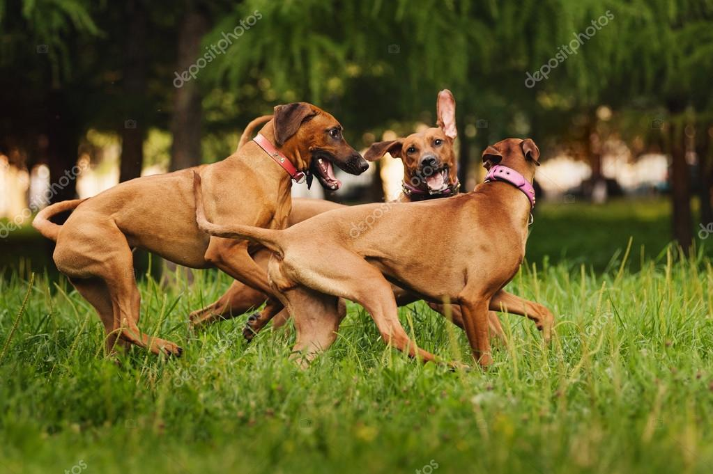 Rhodesian Ridgeback dogs playing in summer