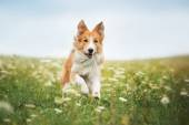 Photo Red border collie dog running in a meadow