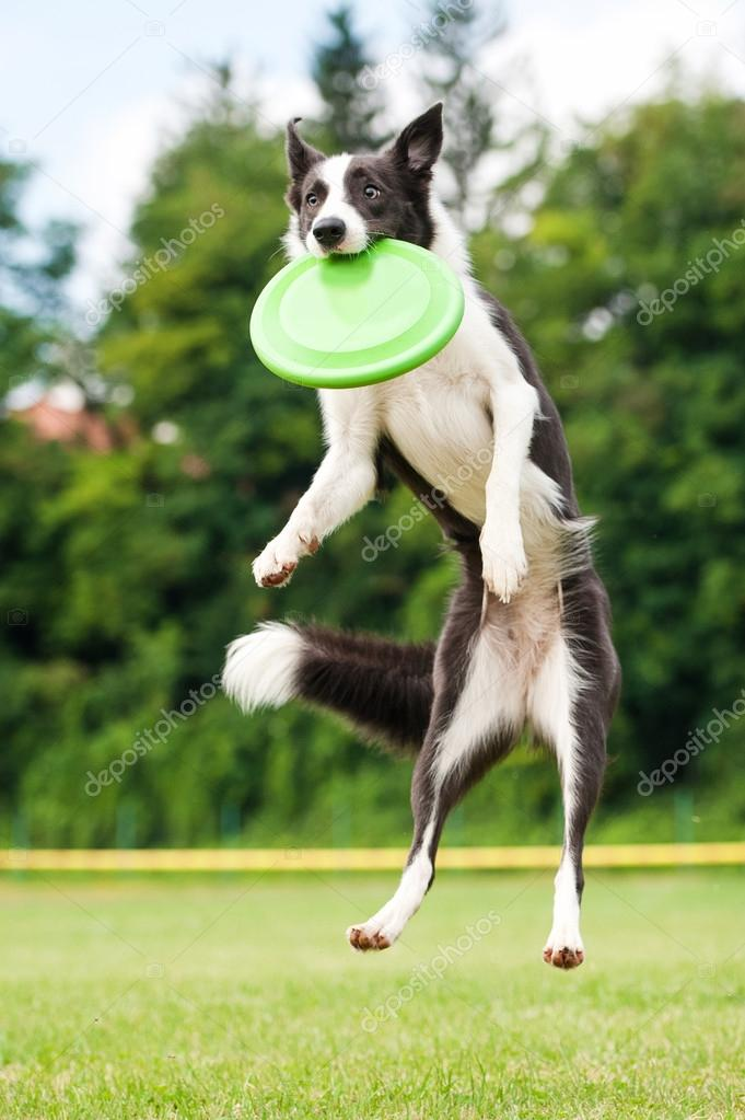 Border collie dog catching frisbee in jump