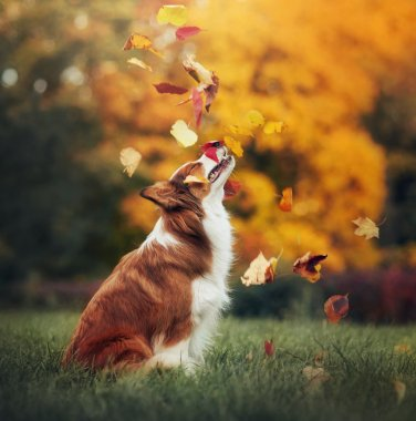 Young border collie dog playing with leaves in autumn