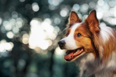 Red dog border collie in sunlight