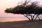 Albero di divi divi sullisola di Aruba nel Mar dei Caraibi al tramonto