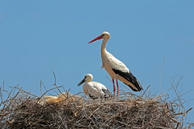 White stork with  young baby stork on the nest