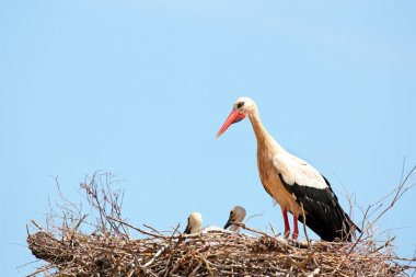 stork with baby storks on the nest