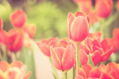 Tulips flowers with filter effect retro vintage style