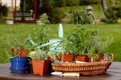 Assortment of Herbs in baskets and planters around Watering Can