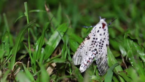 Közelítse meg a terület makromélységét a thaiföldi nemzeti parkokban található egyik molyfaj esetében. Lassan és folyamatosan mozog. Menj nedves és nyirkos füvön az esős évszak éjszakáján.