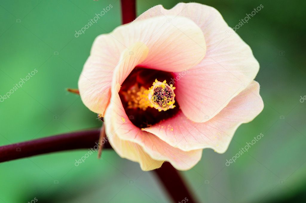 Jamaica Sorrel Or Hibiscus Sabdariffa Flower Stock Photo