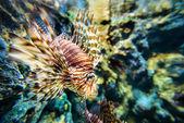 Fotografie Lionfish or Pterois miles