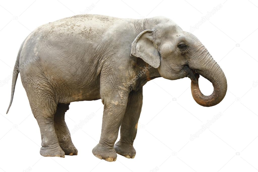 stock photo side view of thai asian elephant playing
