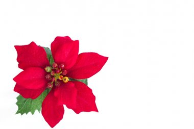 Beautiful red poinsettia on white Background.