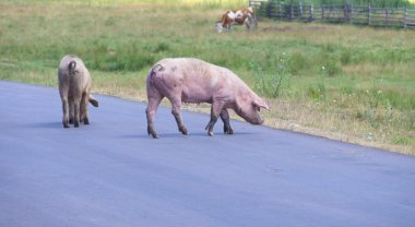 pig crossing the road