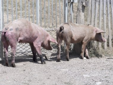 pigs in the village