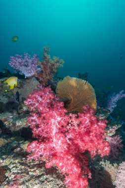 Coral and fish underwater in Similan Islands, Thailand