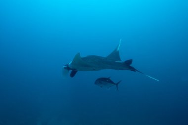 Swimming Manta Ray under water in Similan Islands, thailand
