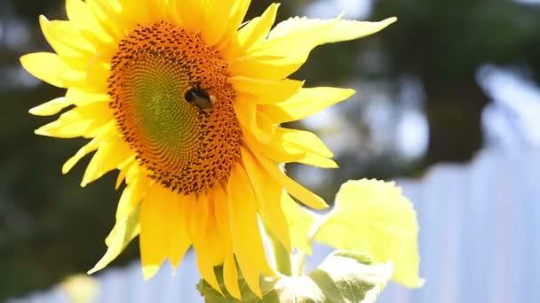 Pan Bumble bee sběr pylu na slunečnice