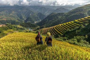 Rice fields on terraced of Mu Cang Chai, YenBai, Vietnam. Rice fields prepare the harvest at Northwest Vietnam