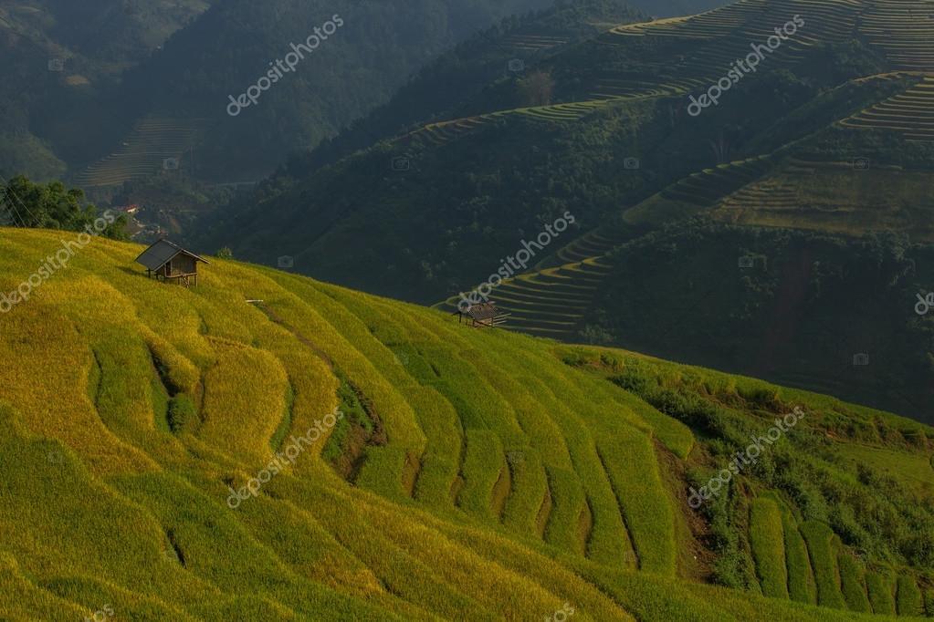 Rice fields on terraced of Vietnam