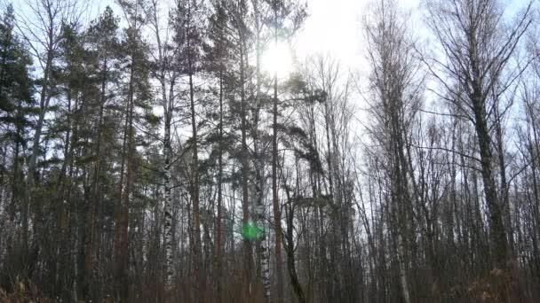 Bella foresta di neve di inverno. Alberi natura boschi