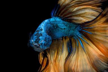 Colourful Betta fish,Siamese fighting fish in movement