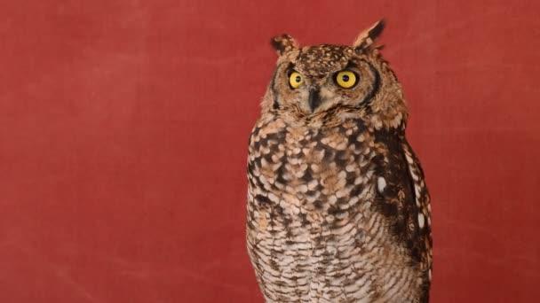 Eagle Owl otáčení hlavy v přírodní rezervaci