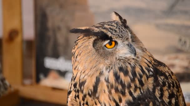 Eagle Owl Turning Head