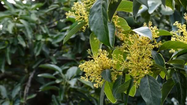 Fleur Avocat Dans Une Branche De L Avocatier En Plantation Video