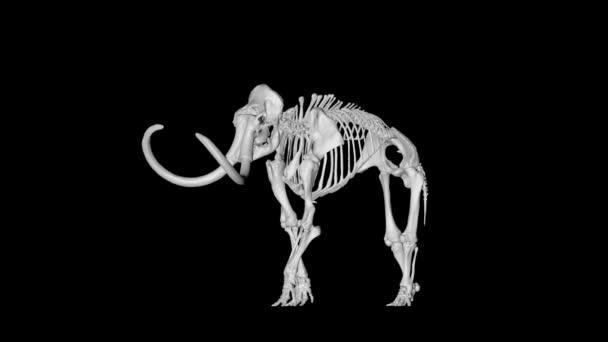 Kostry mamuta slon gyrating na černém pozadí