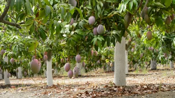 Tropické ovoce mango v plantáži