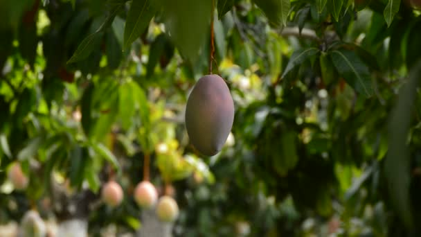 Mango ovoce visí na pobočce