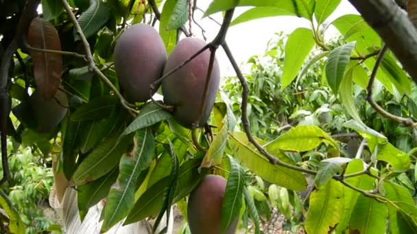 Mango fruits in differents moments of the harvest