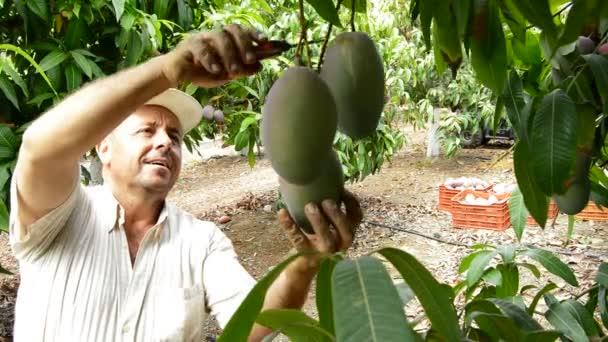 Mango gyümölcs különböző pillanatait a betakarítás