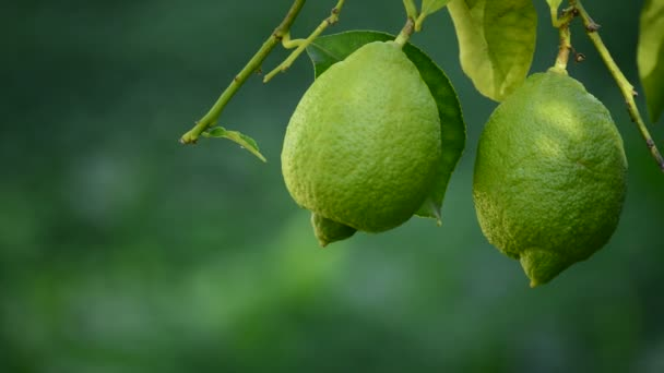 Citrony, visící z větve