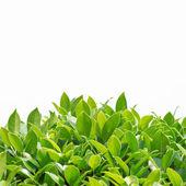 Fotografie zelené listy pozadí