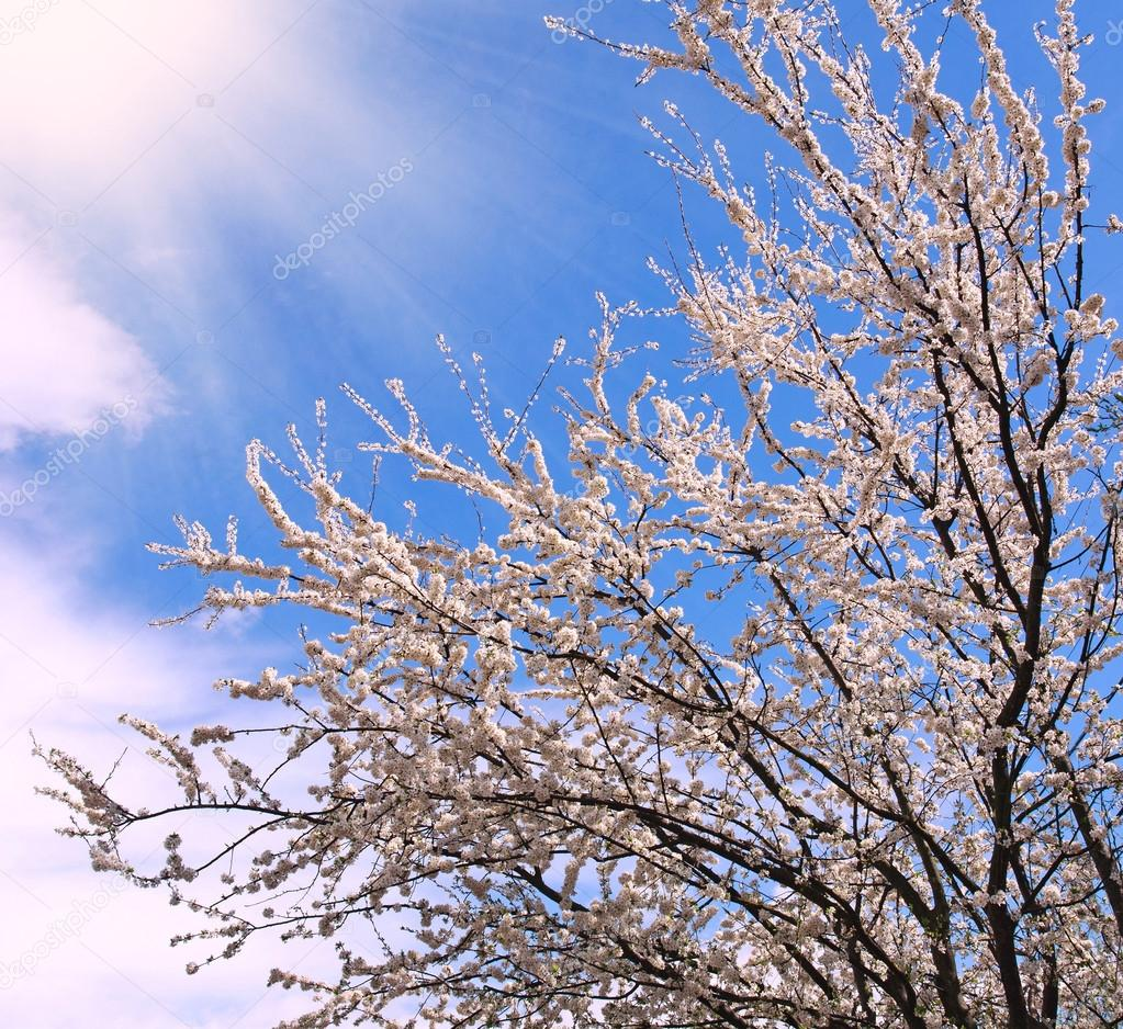 Flowering Trees In Spring On Background The Blue Sky Stock Photo
