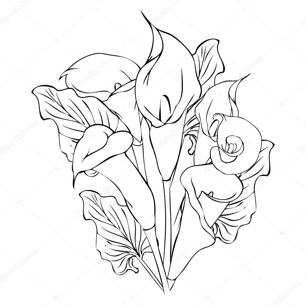 calla flowers outline drawing stock vector 98556190