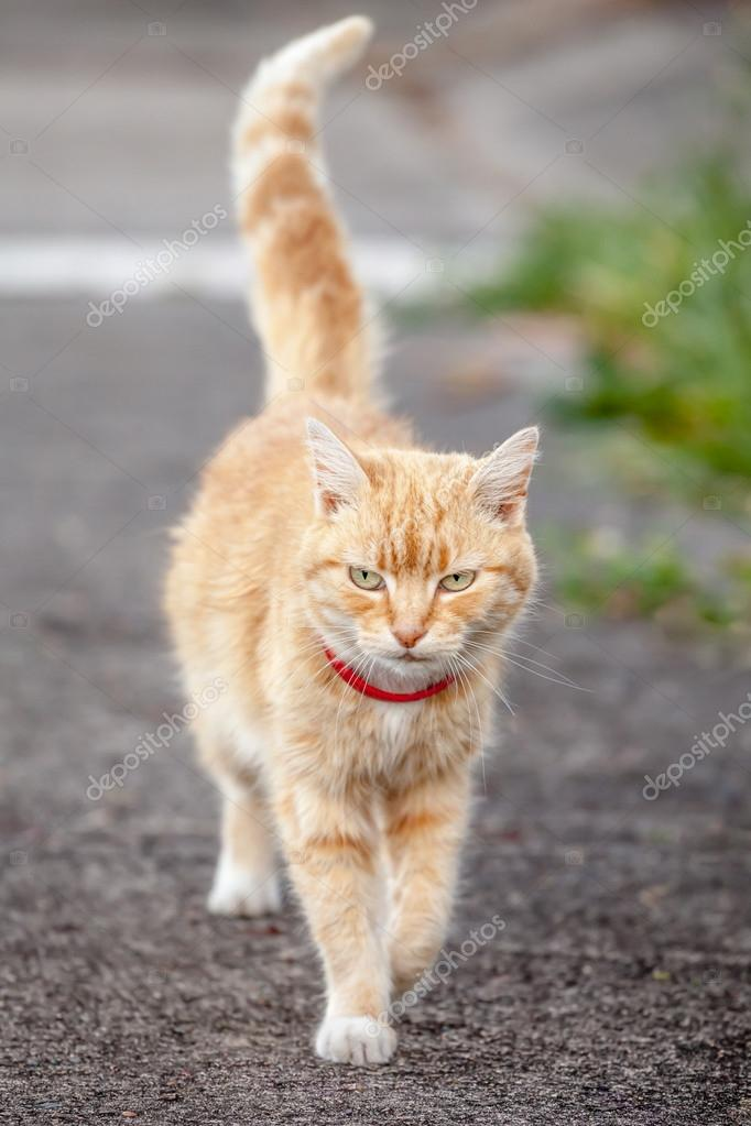 Ginger Tabby Cat with Red Collar Walking on Sidewalk