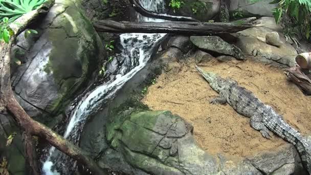 Süßwasserkrokodil sonnen sich
