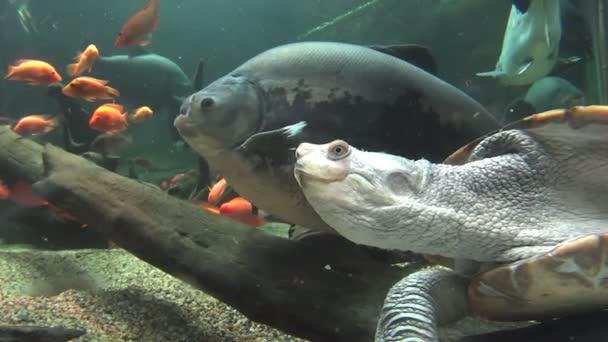 Hosszú nyak teknőst úszni 4