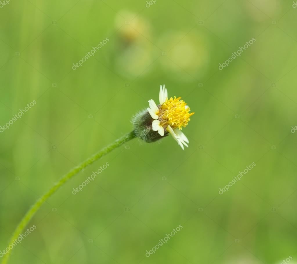 Little White Flower With Yellow Pollen Little Iron Weed Stock