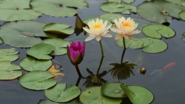 4K Časová prodleva otevření vody lilie květ v jezírku