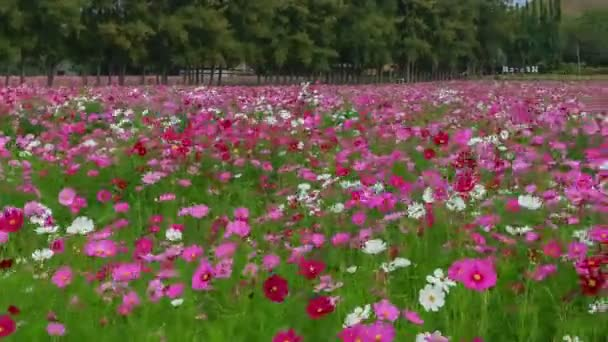 timelapse of pink Cosmos flower field with mountain and sky
