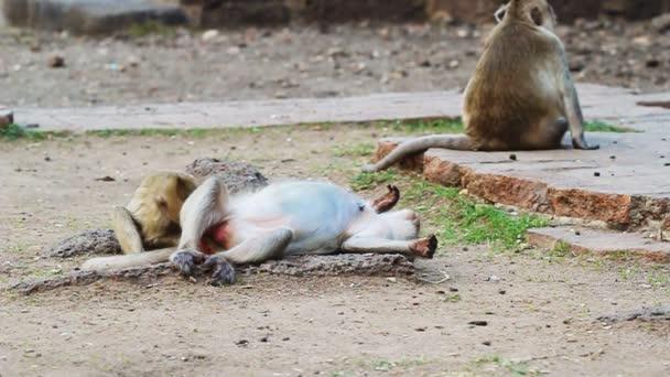 Thai monkey resting on the ground