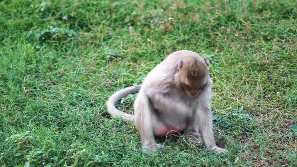 Thai monkey eating the grass