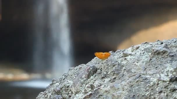 common leopard butterfly (Phalnta phalnta phalnfa Drury) resting on stone with waterfall background