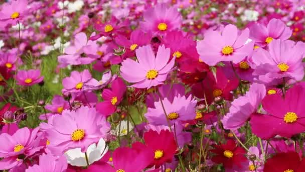 beautiful cosmos flower in field with wind blow