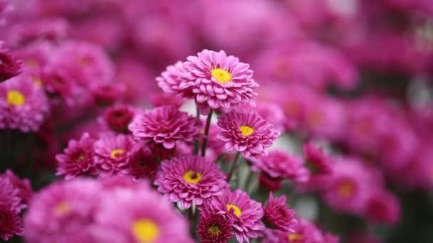 gyönyörű krizantém virágok a szél fúj