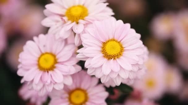 krásný chryzantéma květ kvete s větrem