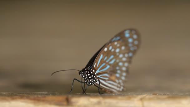 Dark Blue Tiger butterfly (Tirumala septentrionis) on wood